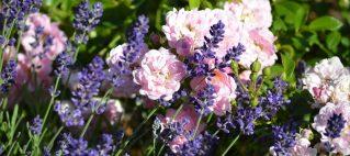 Le rose in giardino